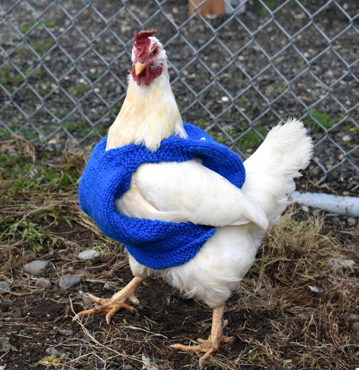 Image result for chickens wearing clothes